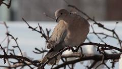 Fluffy Collared Dove in winter, Streptopelia decaocto Stock Footage