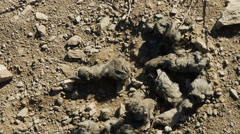 Mountain Lion Scat Arkistovideo