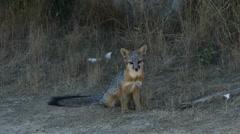 Gray Fox at Point Reyes National Seashore California Stock Footage