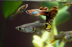 Guppy multi colored fish Stock Photos