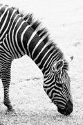 black and white photo of zebra - stock photo