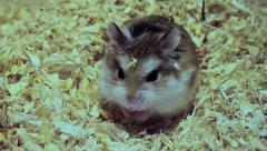 Roborovski hamster eating, Phodopus roborovskii Stock Footage