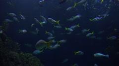 Tropical fish swim underwater. Stock Footage