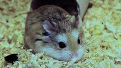 Cute Roborovski hamster, Phodopus roborovskii Stock Footage