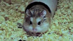 Roborovski hamster, Phodopus roborovskii Stock Footage