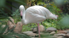 Pink Flamingo (Phoenicopterus ruber)  Stock Footage