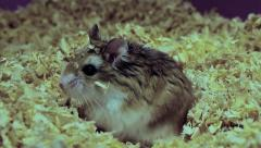 Roborovski hamster playing in sawdust, Phodopus roborovskii Stock Footage