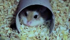 Roborovski hamster in pipe, Phodopus roborovskii Stock Footage