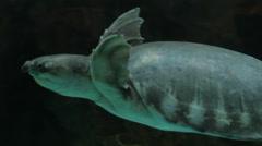 Swimming Turtle in dark Stock Footage