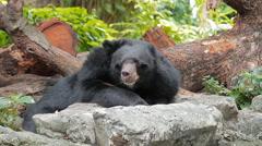 Malayan sun bear Stock Footage