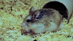 Roborovski hamster side view, Phodopus roborovskii Stock Footage