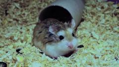 Roborovski hamster on sawdust, Phodopus roborovskii Stock Footage
