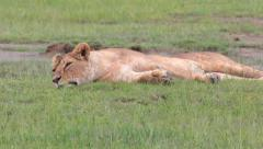 LIONS AFRICA WILDLIFE SAFARI NGORONGORO CRATER Stock Footage