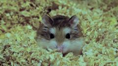 Roborovski hamster looking at the camera, Phodopus roborovskii Stock Footage