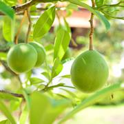 Cerbera oddloam gaertn fruit on tree Stock Photos