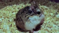 Hungry Roborovski hamster, Phodopus roborovskii Stock Footage