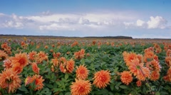 Exclusive Texel island daliafield Stock Footage