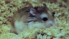 Relaxed Roborovski hamster, Phodopus roborovskii Stock Footage