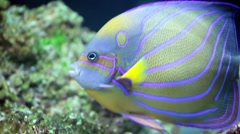 Annularis Angelfish (Pomacanthus annularis) Stock Footage