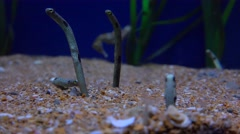 Underwater sand worms poke their heads up. Stock Footage