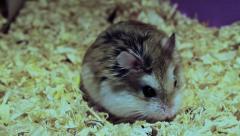 Sweet Roborovski hamster, Phodopus roborovskii Stock Footage