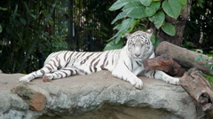 Animal portrait of a white tiger Stock Footage