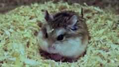 Crunching Roborovski hamster, Phodopus roborovskii Stock Footage