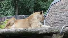 Lioness lying in her enclosure and rest after a hearty lunch at the zoo in Duisb Stock Footage