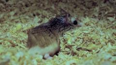 Lazy Roborovski hamster, Phodopus roborovskii Stock Footage