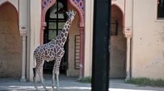 Giraffe (Giraffa camelopardalis) At Zoo Stock Footage