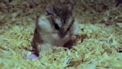 Roborovski hamster cleaning itself, Phodopus roborovskii Stock Footage