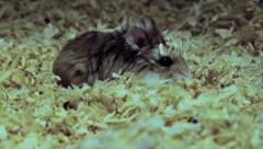 Funny and cute Roborovski hamster, Phodopus roborovskii Stock Footage