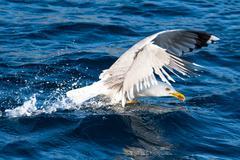 Seagull bird take-off - stock photo