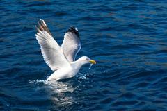 Seagull bird take-off Stock Photos