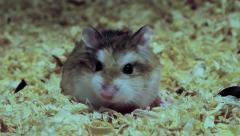 Playful Roborovski hamster, Phodopus roborovskii Stock Footage