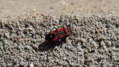 Firebug, Pyrrhocoris apterus Stock Footage