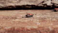 Firebug on wood, ground view, Pyrrhocoris apterus Stock Footage