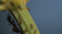 1080p, macro of ants and vine lice on leafs Stock Footage