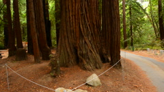 Pan of Giant Sequoias Redwood Trees in California Stock Footage