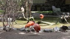 Scarlet ibis. Eudocimus ruber Stock Footage