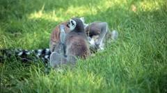 Group Of Ring-Tailed Lemurs (Lemur Catta) Stock Footage