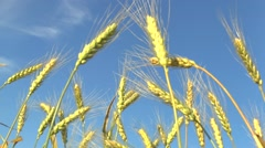 The movement of the ears of ripe wheat in the wind and the blue sky. Stock Footage