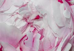 Detail of flowering white and lilac peony Stock Photos