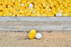 silkworm cocoon, yellow and white silk worm - stock photo