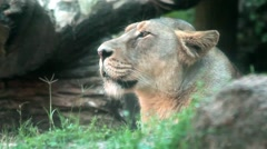 Profile of Female Lion Stock Footage