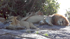 LIONS AFRICA WILDLIFE SAFARI SERENGETI Stock Footage
