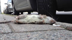Rat in Stockholm Stock Footage