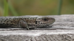 A lizard on the board Stock Footage