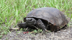 Gopher Tortoise Eating Medium Shot Stock Footage