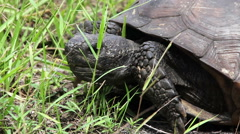 Gopher Tortoise Eating Close Up 4 Stock Footage